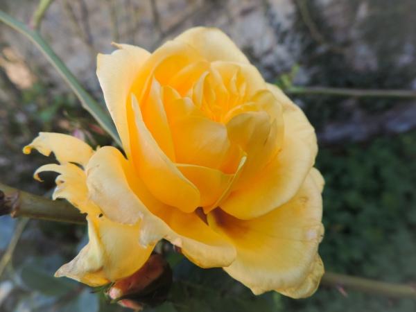 December rose 2