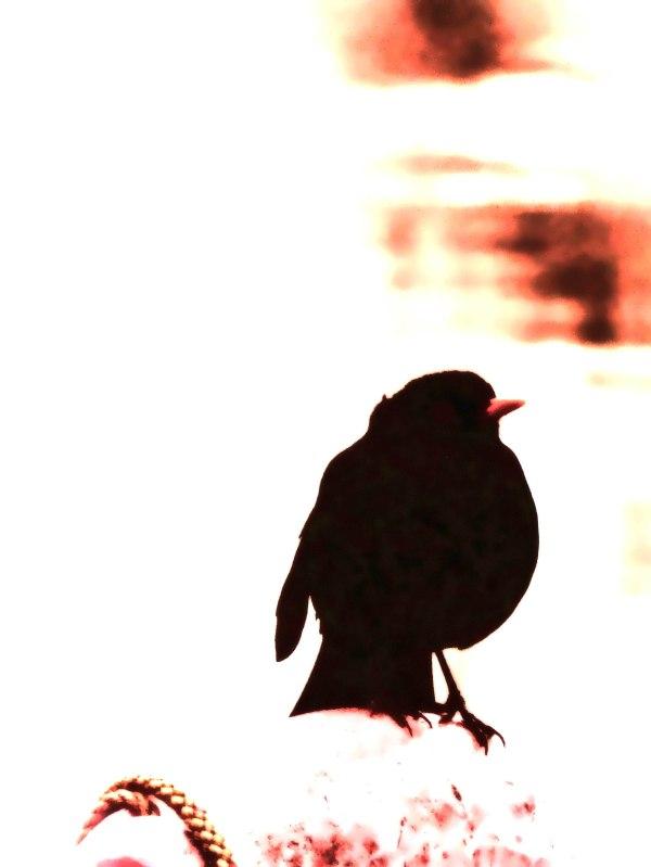 Blackbird-